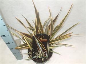 Afbeelding van Phormium Alison Blackman 30-50 cm / P 14 a 35 planten per deense laag