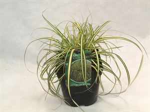 Afbeelding van Carex och. Evergold