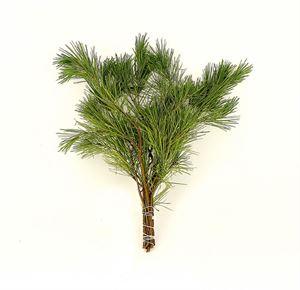 Picture of Pinus sylvestris