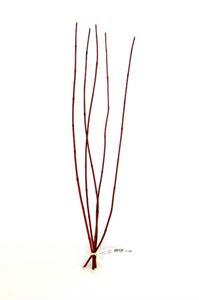Afbeelding van Cornus rood -100-120cm bos a 5 tak