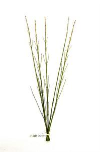 Afbeelding van Cornus geel- 80cm bos a 5 tak