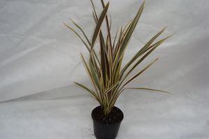 Afbeelding van Phormium Alison Blackman a 35 planten per deense laag