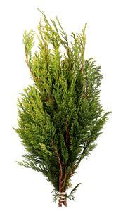 Picture of Cham. pisifera Aurea 25-30 cm