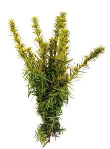 Picture of Taxus semperaurea 25-30 cm