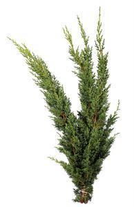Afbeelding van Juniperus m. Blaauw