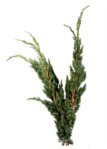 Picture of Juniperus sq. Meyerii