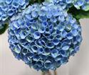 Picture of Hydrangea Magical Revolution 25 cm (VB)